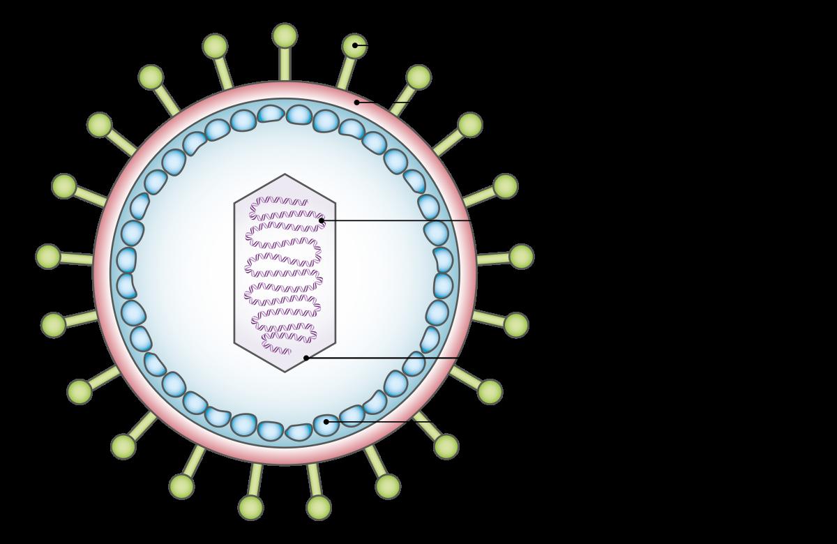 a papilloma vírus megtámadja az embereket