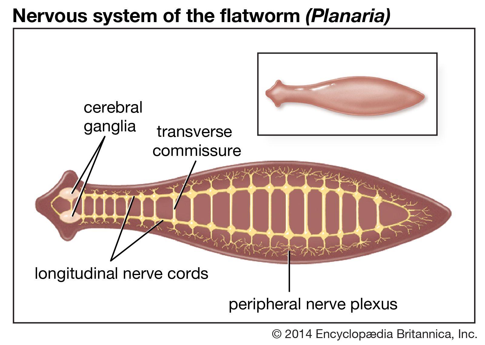 a platyhelminthes planaria tulajdonságai)