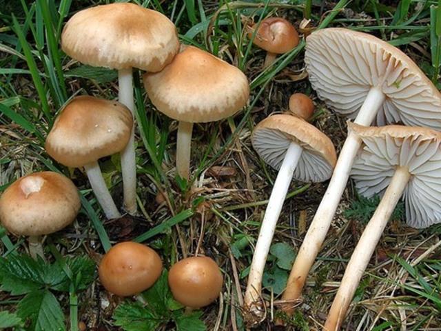 mezei gombák)