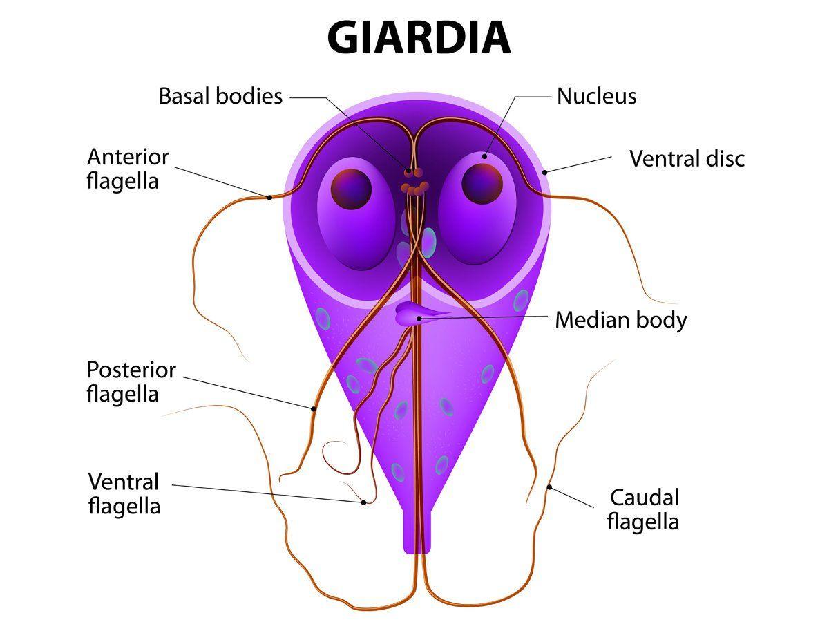 giardia vizes vírus)