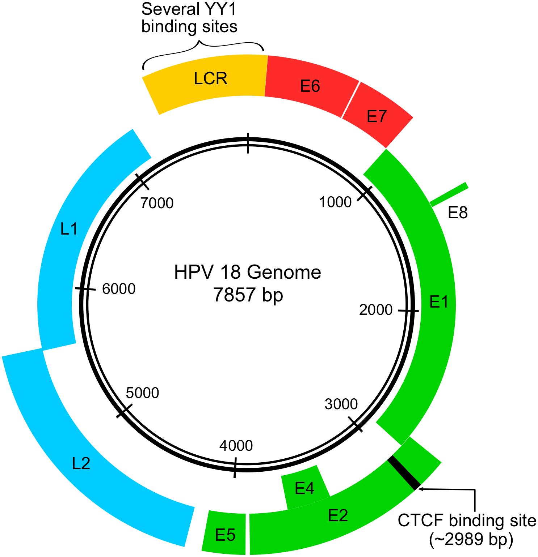 hpv vírus genom)