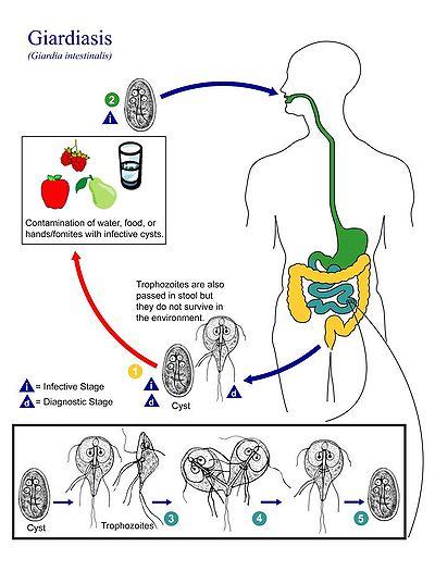 giardiasis morfológia