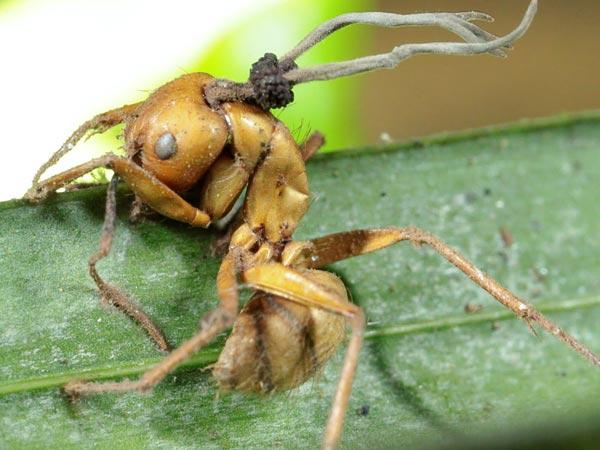 Hangyák parazitái - Levélről a fára