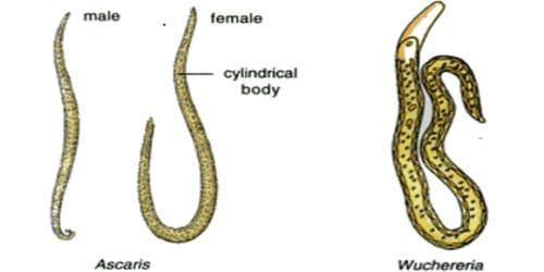 Phylum aschelminthes wuchereria, phylum Nematoda - fonálférgek, Phylum aschelminthes ascaris képek