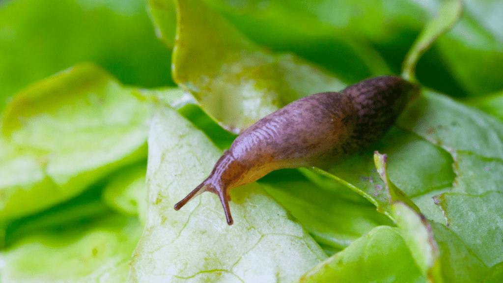 Fogadásból meztelen csigát evett, amitől lebénult, majd meghalt - Meztelen csigák paraziták