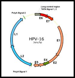 hpv életciklus-diagram)