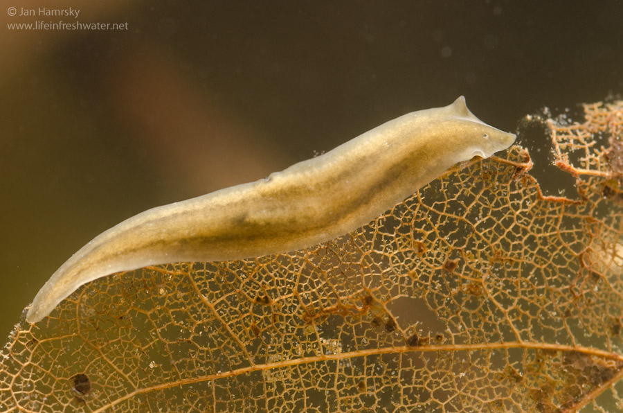 platyhelminthes turbellaria tricladida