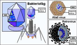 hpv vírus szerkezete