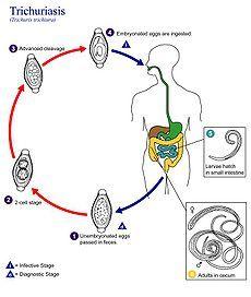 pinworms biológia)