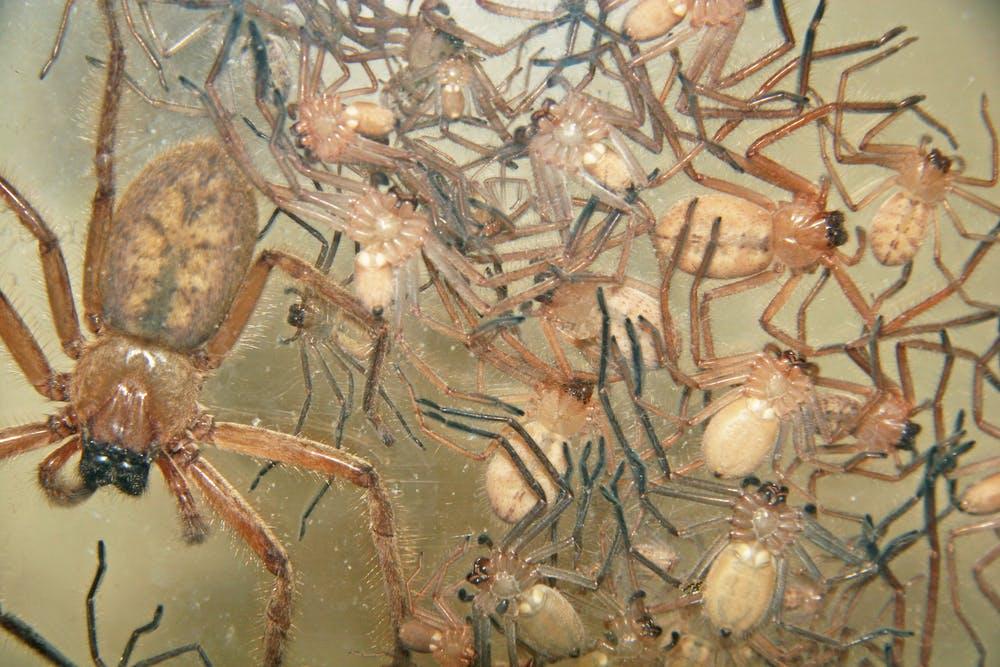 Pók harapása Déli fekete özvegy chilei magányos pók Állati harapás, pók, állat, állati harapás png
