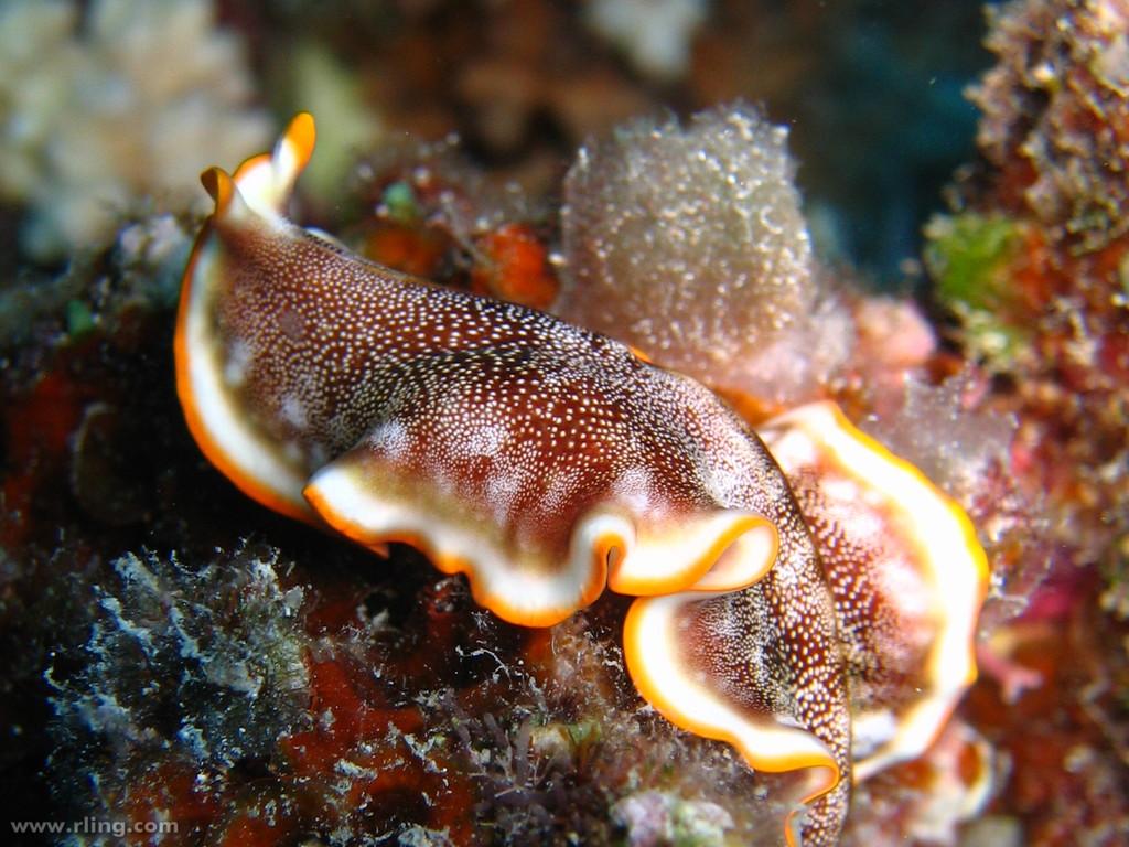 Platyhelminthes turbellaria, Platyhelminthes turbellaria tricladida