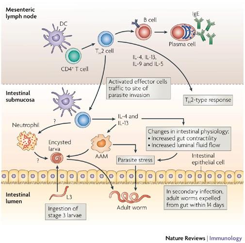 helmint immunsejt)