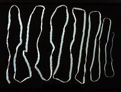 galandféreg-fertőzés módszere