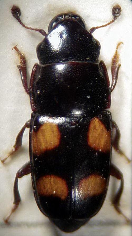 endemikus a rovarok számára a férgek neve egy személyben