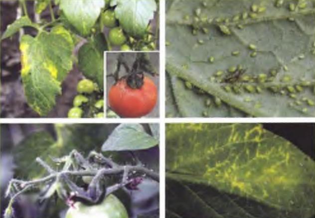 paradicsom bakteriális rák