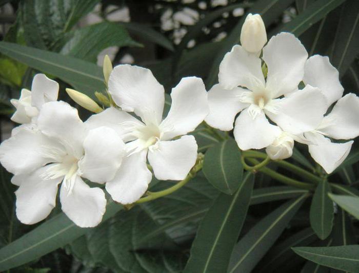 Oleander (Nerium). Az oleander leírása, típusai és gondozása - Műtrágyák