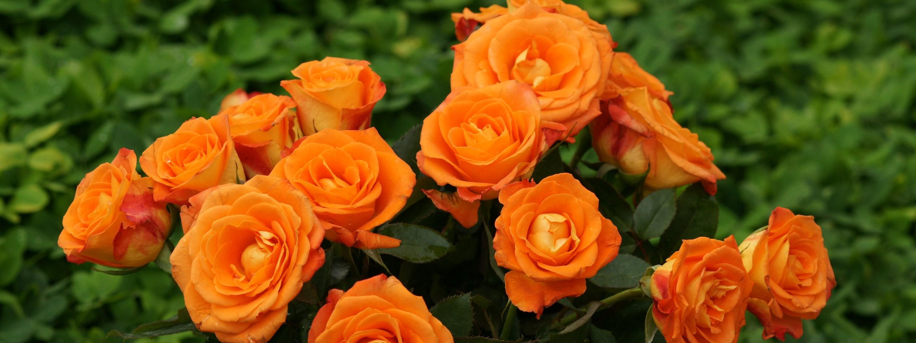 A rózsa gondozása, kezelése - FitoHorm