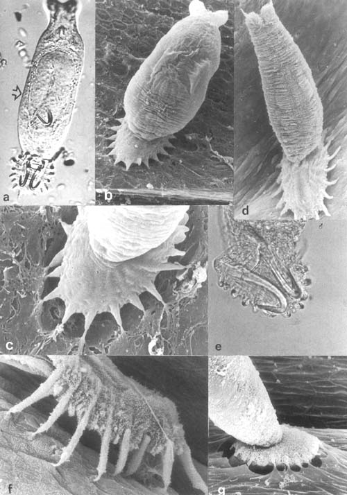 dactylogyrus paraziták monogenetikus trematodákban)