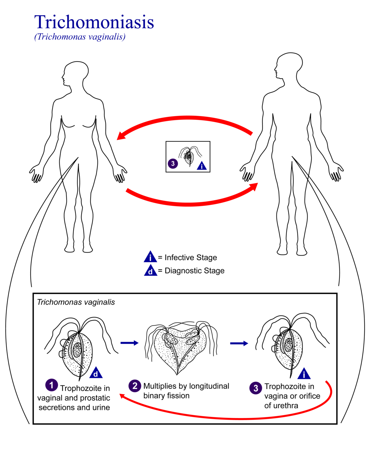 a húgycső külső nyílásának condyloma