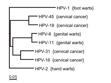 a hpv vírus életciklusa)
