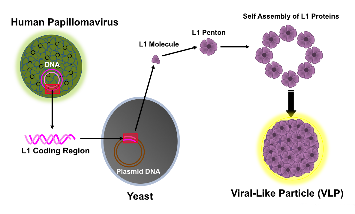 adn humán papilloma vírus