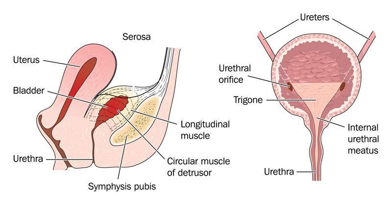 az urothelialis papilloma a hólyag)