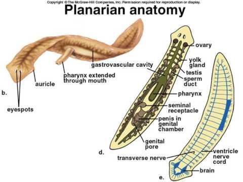 Platyhelminthes trematoda fajok. Betekintés: Alsóbbrendű gerinctelenek fajlistái és képei