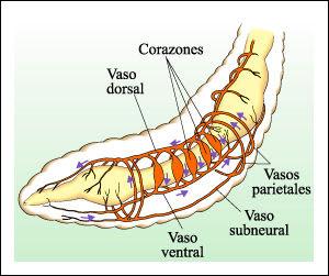 Platyhelminthes rajz - Platyhelminthes rajz, Pinworm rajz