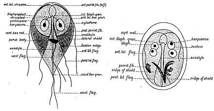 Gyomor-bélhurut, Giardiasis enteritis