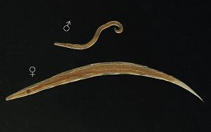 enterobius vermicularis szakaszai)