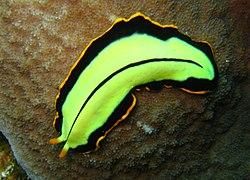 platyhelminthes turbellaria