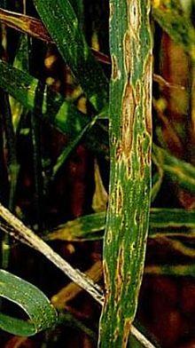 helminthosporium sorokiniana)