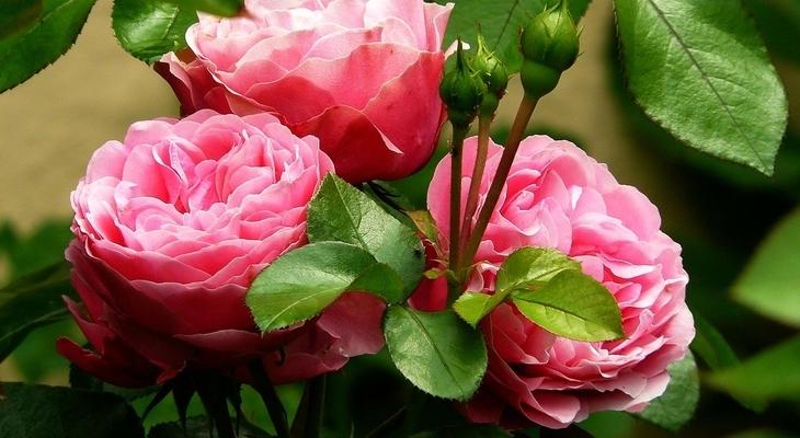 rózsarák kezelése
