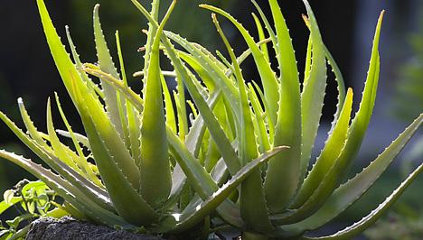 az aloe vera vastagbél tisztítja a méregtelenítő levet)