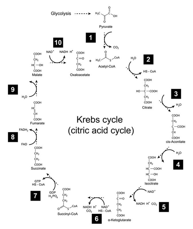 láncfejlődési ciklus diagram