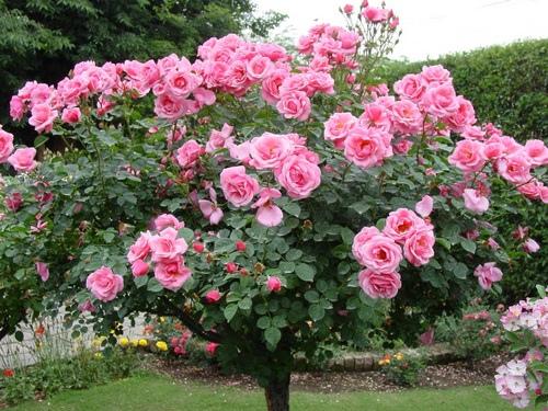 rózsarák kezelése)