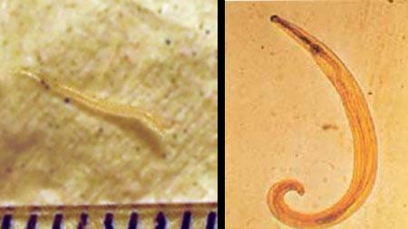 paraziták enterobius vermicularis)
