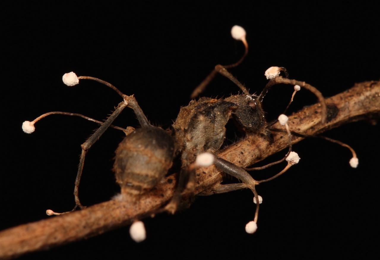 Parazita hangya. Olvasási mód: